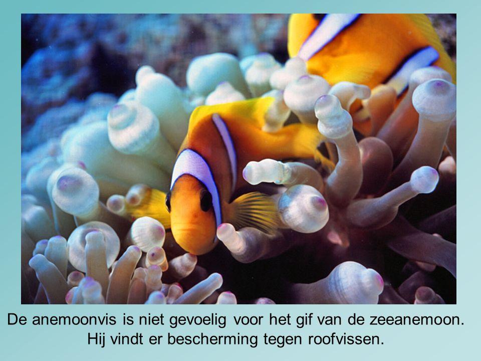 De anemoonvis is niet gevoelig voor het gif van de zeeanemoon