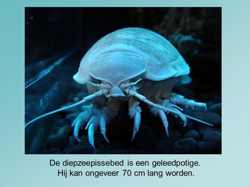 De diepzeepissebed is een geleedpotige.