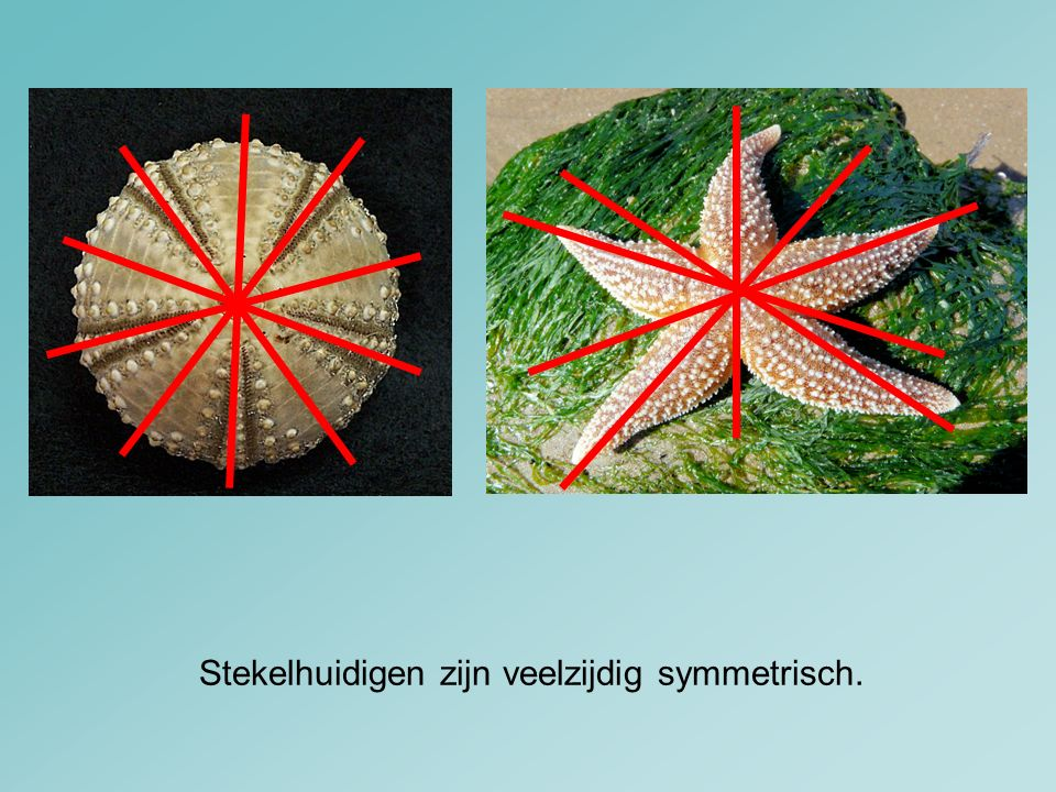 Stekelhuidigen zijn veelzijdig symmetrisch.