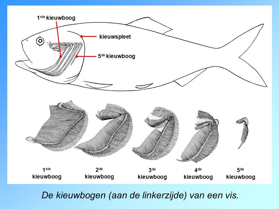 De kieuwbogen (aan de linkerzijde) van een vis.