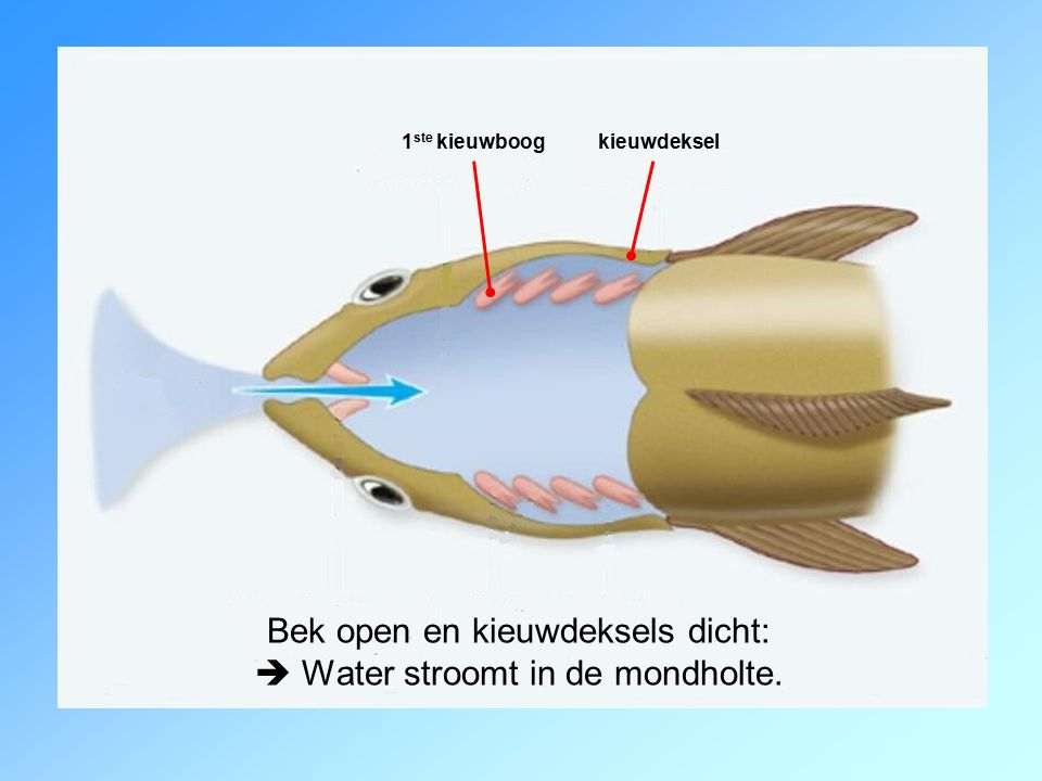 Bek open en kieuwdeksels dicht:  Water stroomt in de mondholte.