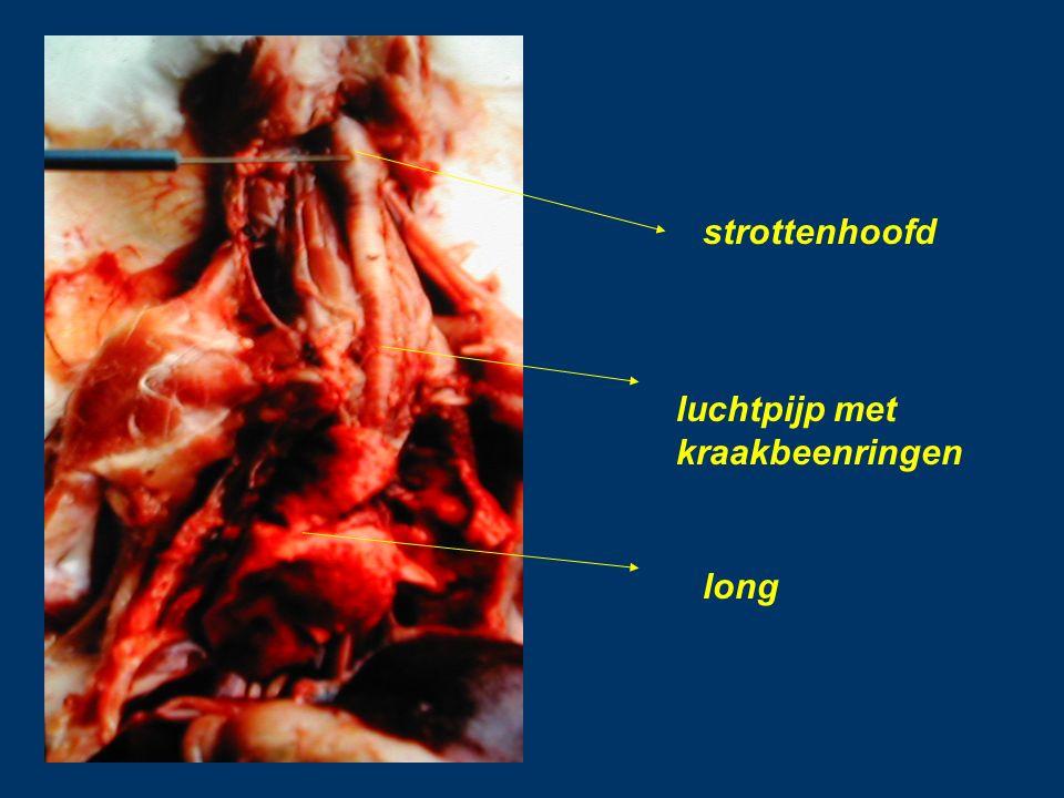 strottenhoofd luchtpijp met kraakbeenringen long