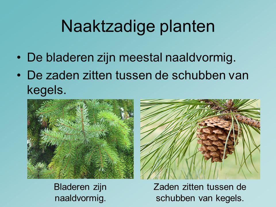 Naaktzadige planten De bladeren zijn meestal naaldvormig.