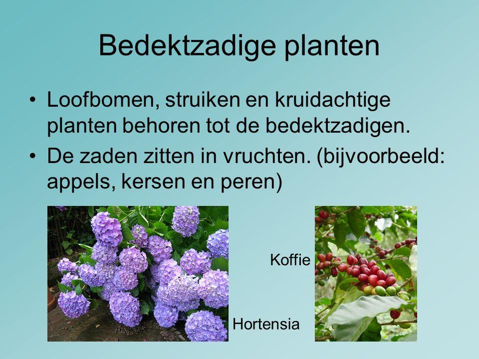 Bedektzadige planten Loofbomen, struiken en kruidachtige planten behoren tot de bedektzadigen.