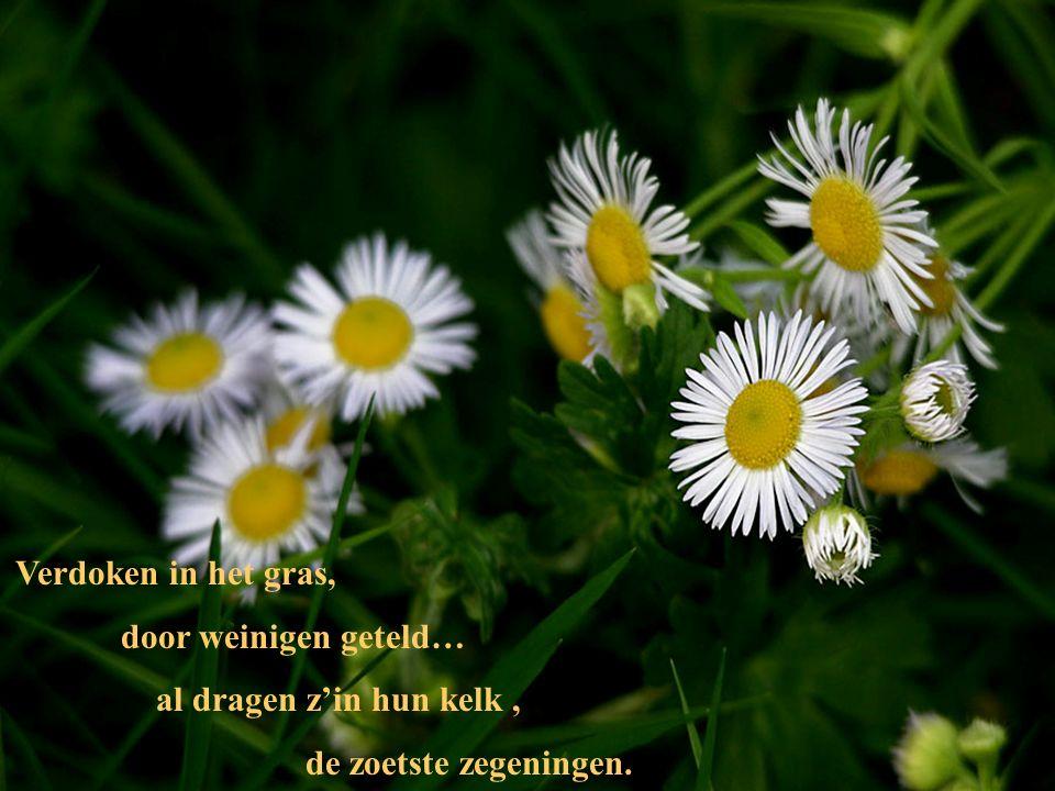 Verdoken in het gras, door weinigen geteld… al dragen z'in hun kelk , de zoetste zegeningen.