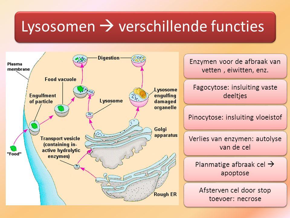 Lysosomen  verschillende functies