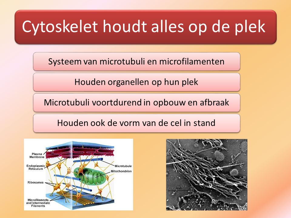 Cytoskelet houdt alles op de plek