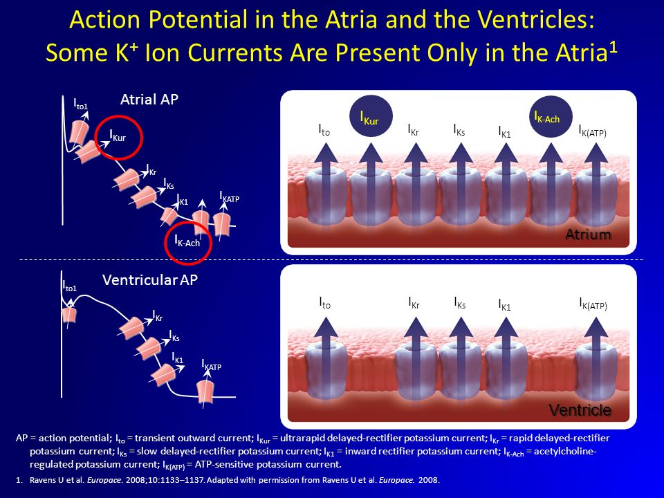 Action Potential in the Atria and the Ventricles: Some K+ Ion Currents Are Present Only in the Atria1