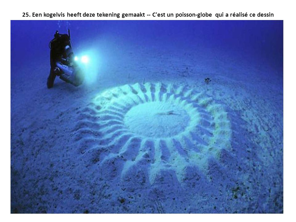 25. Een kogelvis heeft deze tekening gemaakt -- C est un poisson-globe qui a réalisé ce dessin