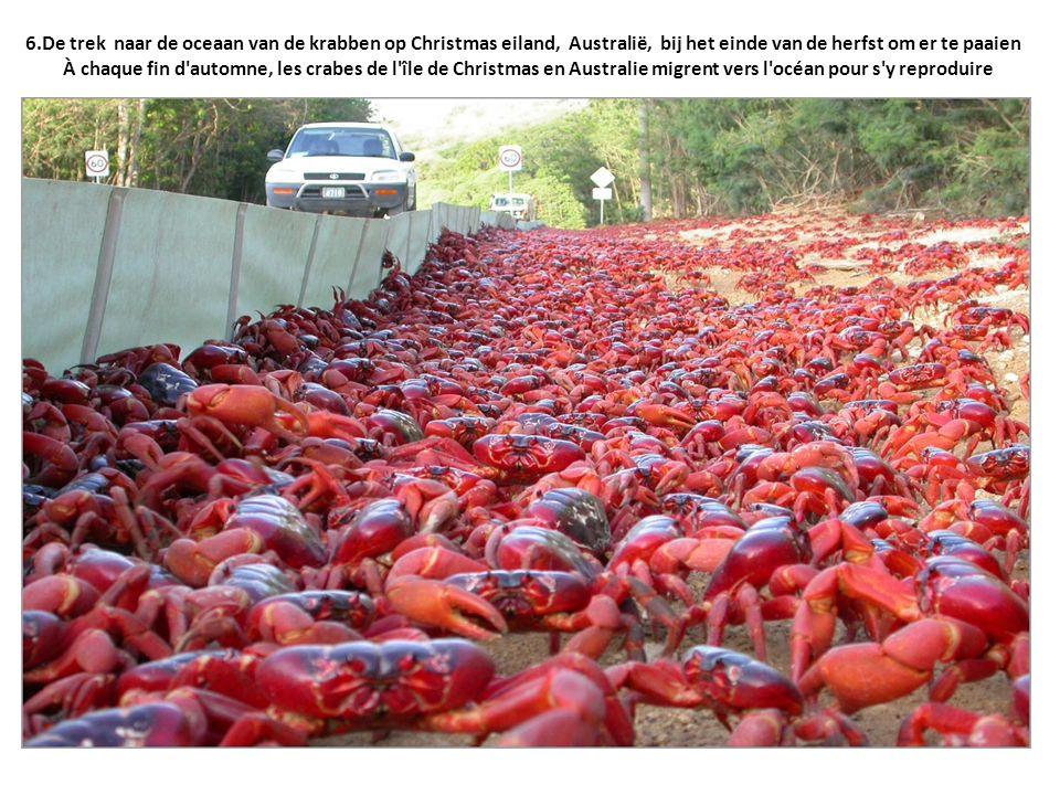 6.De trek naar de oceaan van de krabben op Christmas eiland, Australië, bij het einde van de herfst om er te paaien À chaque fin d automne, les crabes de l île de Christmas en Australie migrent vers l océan pour s y reproduire