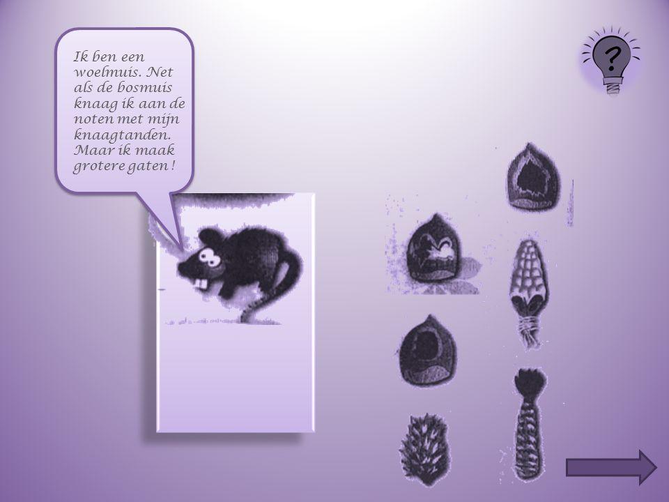 Ik ben een woelmuis. Net als de bosmuis knaag ik aan de noten met mijn knaagtanden.