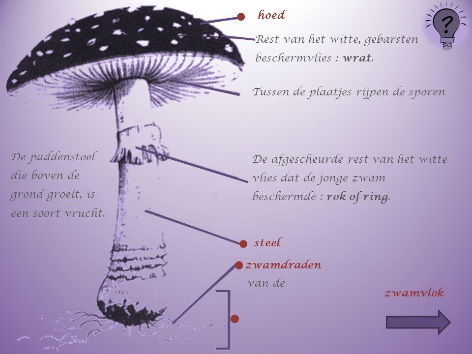 hoed Rest van het witte, gebarsten beschermvlies : wrat. Tussen de plaatjes rijpen de sporen.