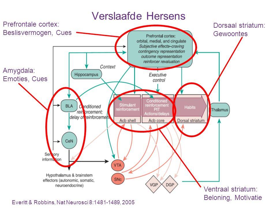 Verslaafde Hersens Prefrontale cortex: Dorsaal striatum: