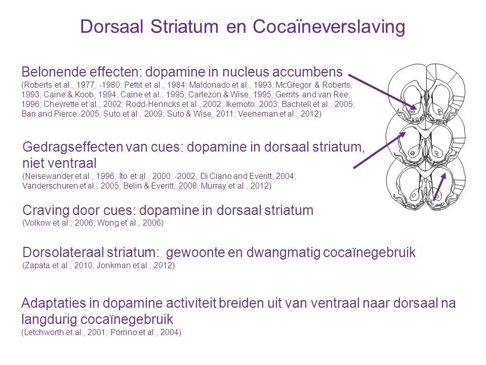 Dorsaal Striatum en Cocaïneverslaving