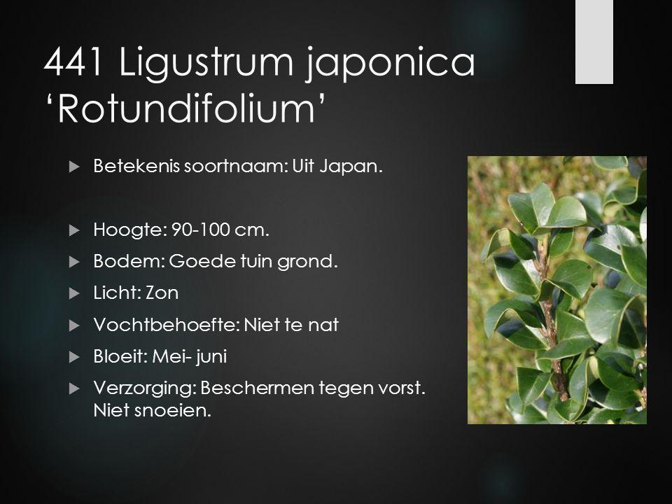 441 Ligustrum japonica 'Rotundifolium'