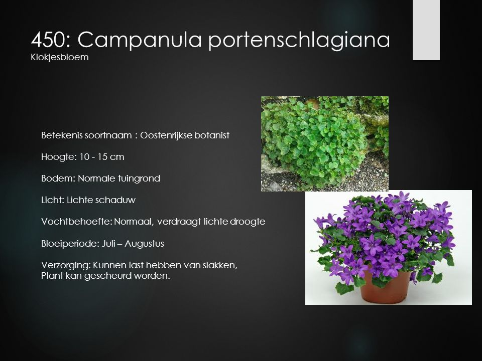 450: Campanula portenschlagiana Klokjesbloem