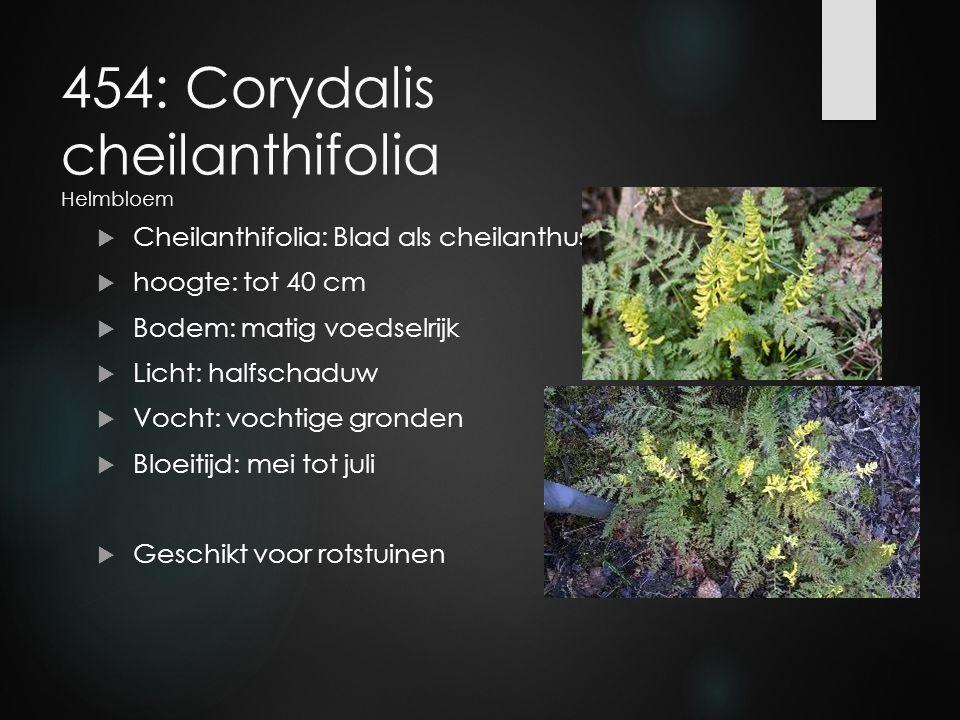 454: Corydalis cheilanthifolia Helmbloem