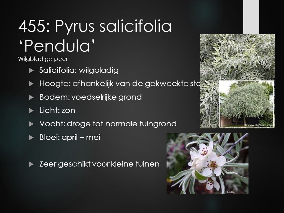 455: Pyrus salicifolia 'Pendula' Wilgbladige peer
