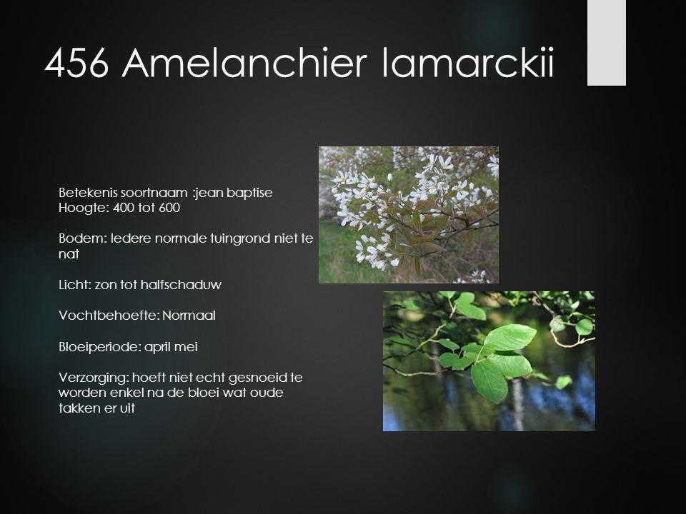 456 Amelanchier lamarckii