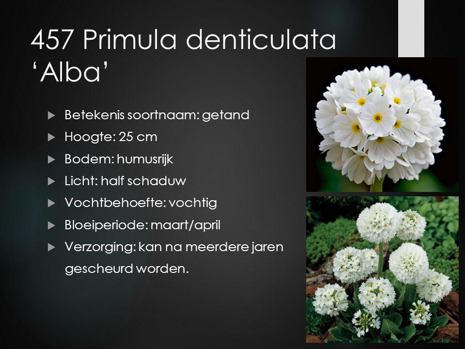 457 Primula denticulata 'Alba'