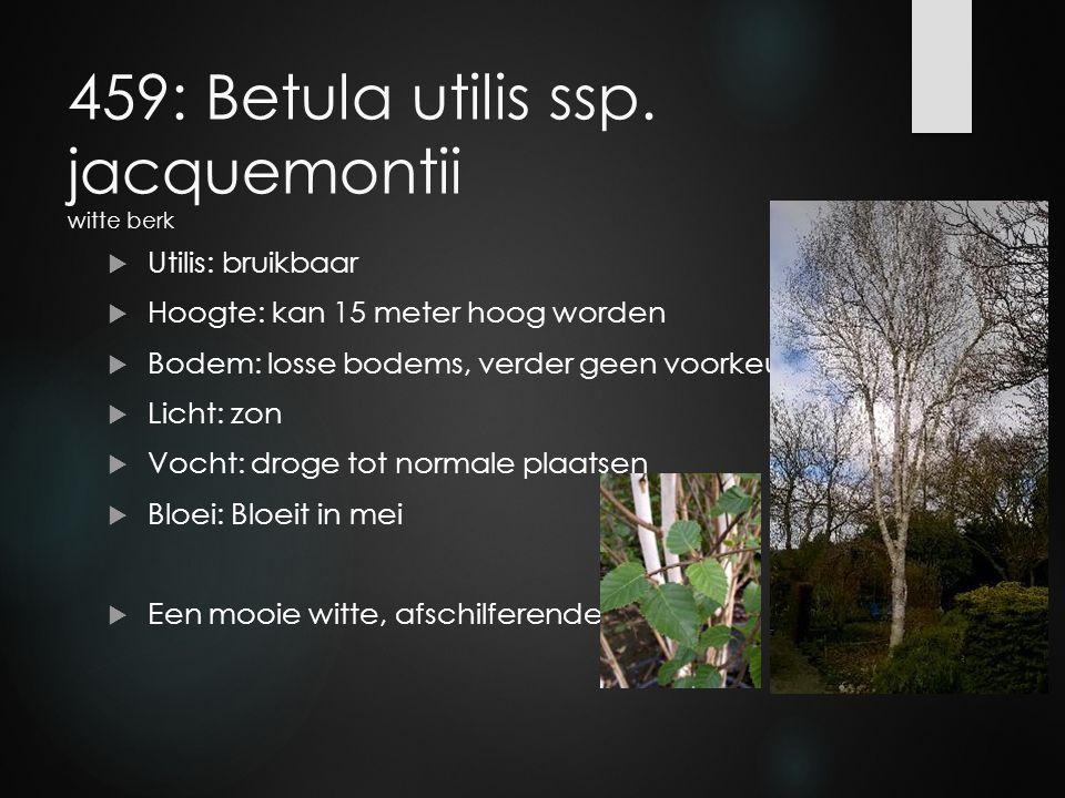 459: Betula utilis ssp. jacquemontii witte berk