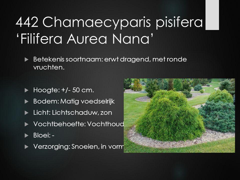442 Chamaecyparis pisifera 'Filifera Aurea Nana'