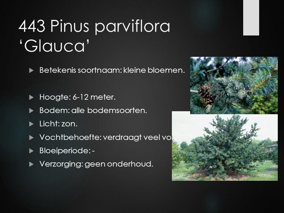 443 Pinus parviflora 'Glauca'