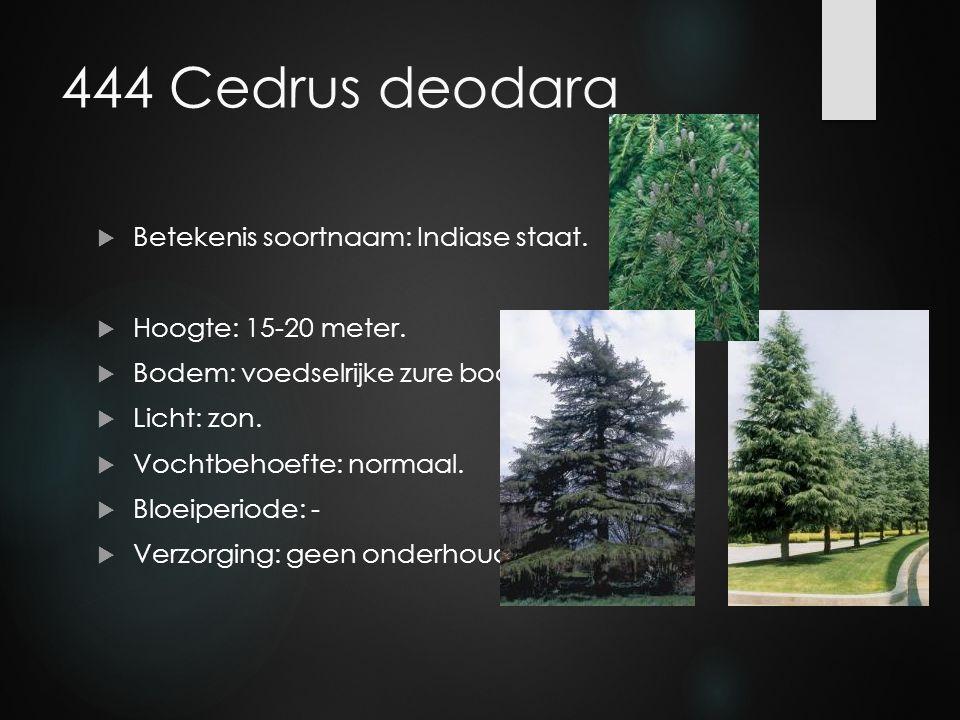 444 Cedrus deodara Betekenis soortnaam: Indiase staat.