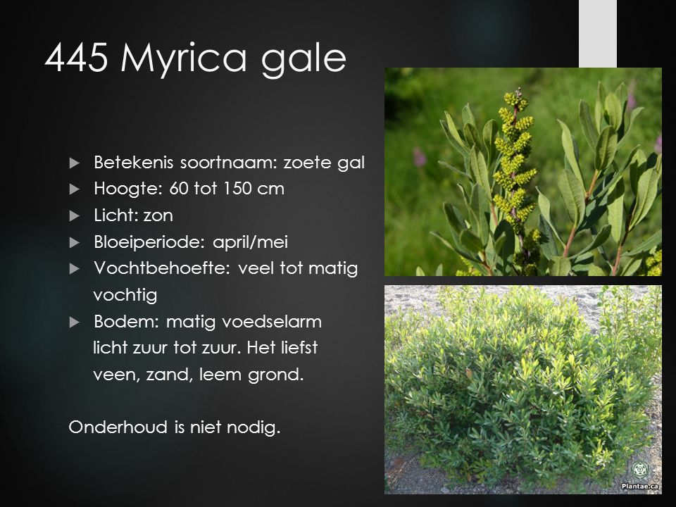 445 Myrica gale Betekenis soortnaam: zoete gal Hoogte: 60 tot 150 cm