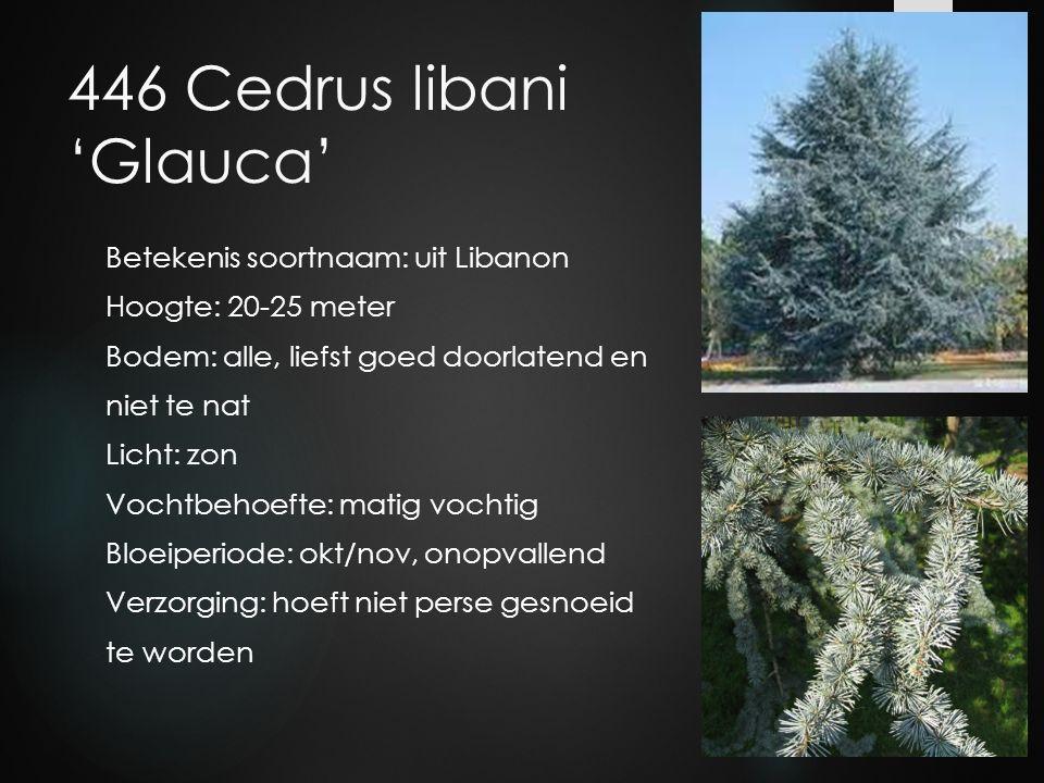 446 Cedrus libani 'Glauca'