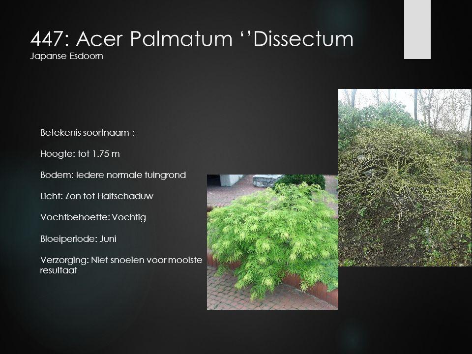 447: Acer Palmatum ''Dissectum Japanse Esdoorn