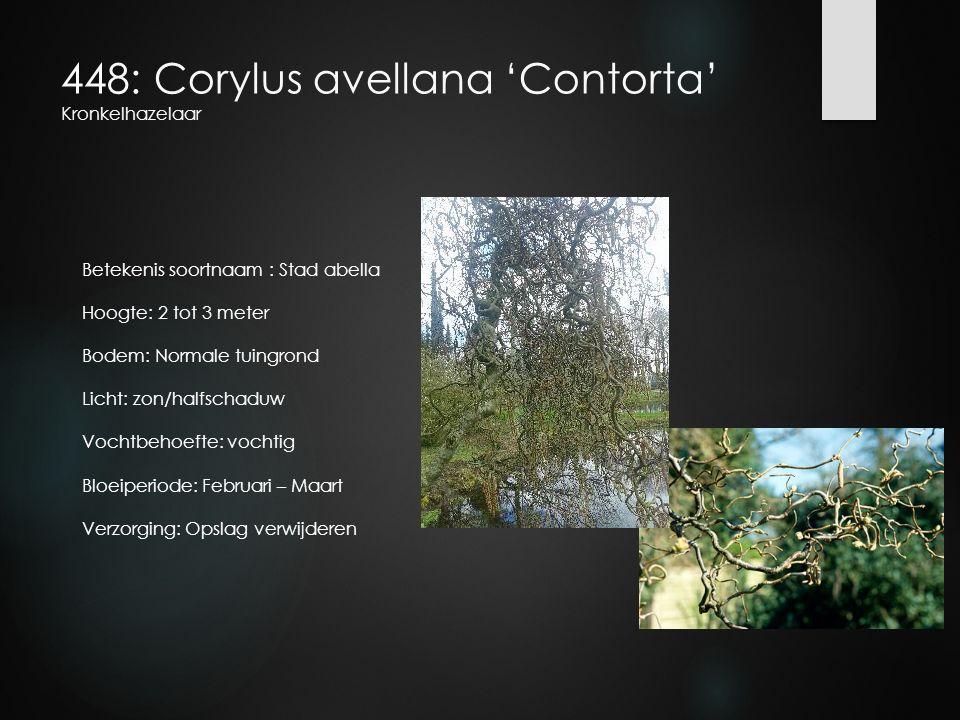 448: Corylus avellana 'Contorta' Kronkelhazelaar