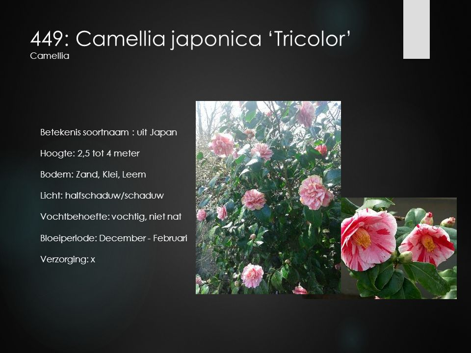 449: Camellia japonica 'Tricolor' Camellia