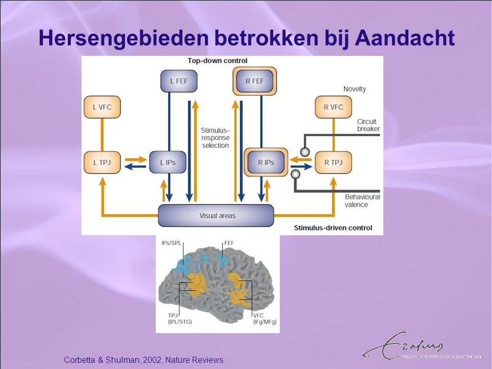 Hersengebieden betrokken bij Aandacht
