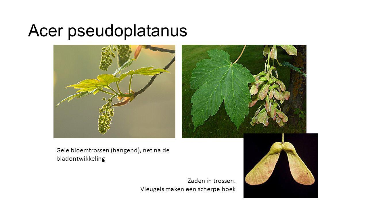 Acer pseudoplatanus Gele bloemtrossen (hangend), net na de bladontwikkeling.