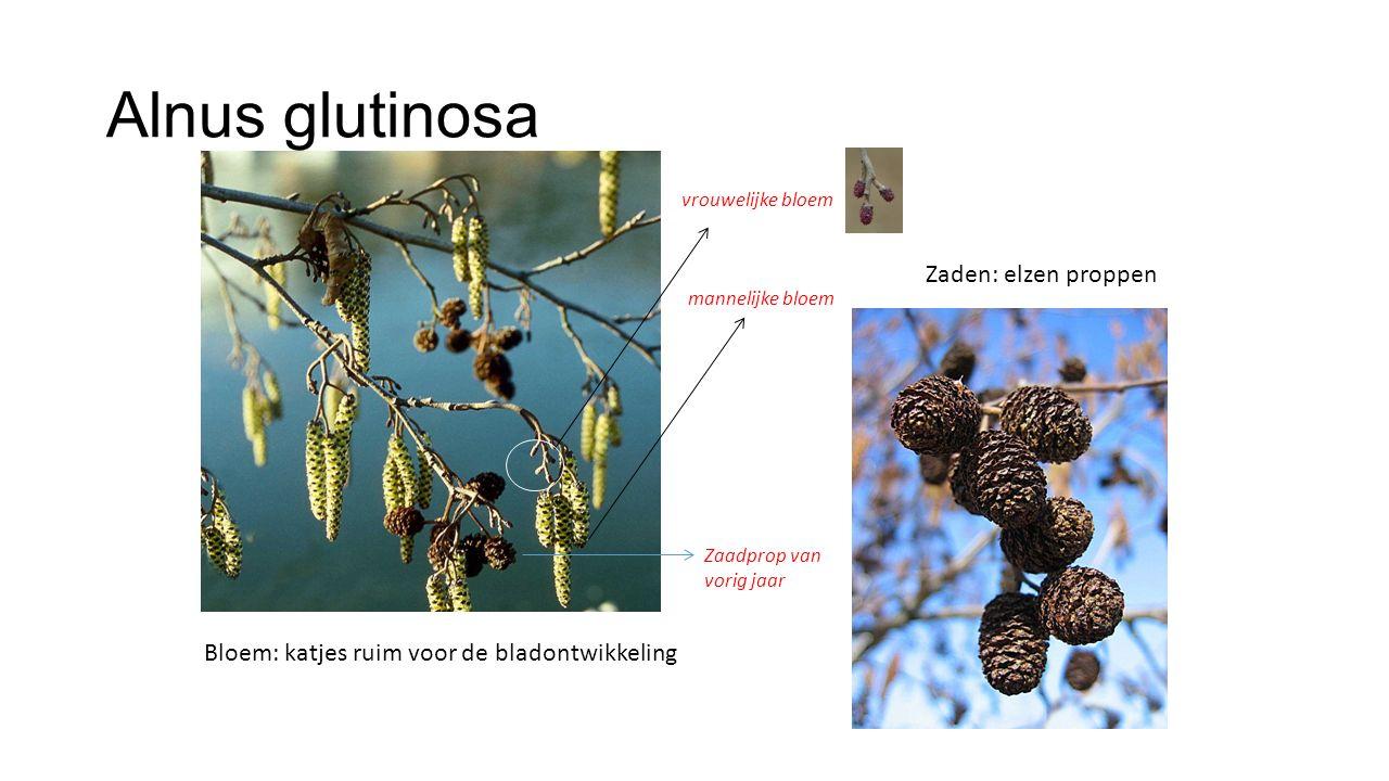 Alnus glutinosa Zaden: elzen proppen