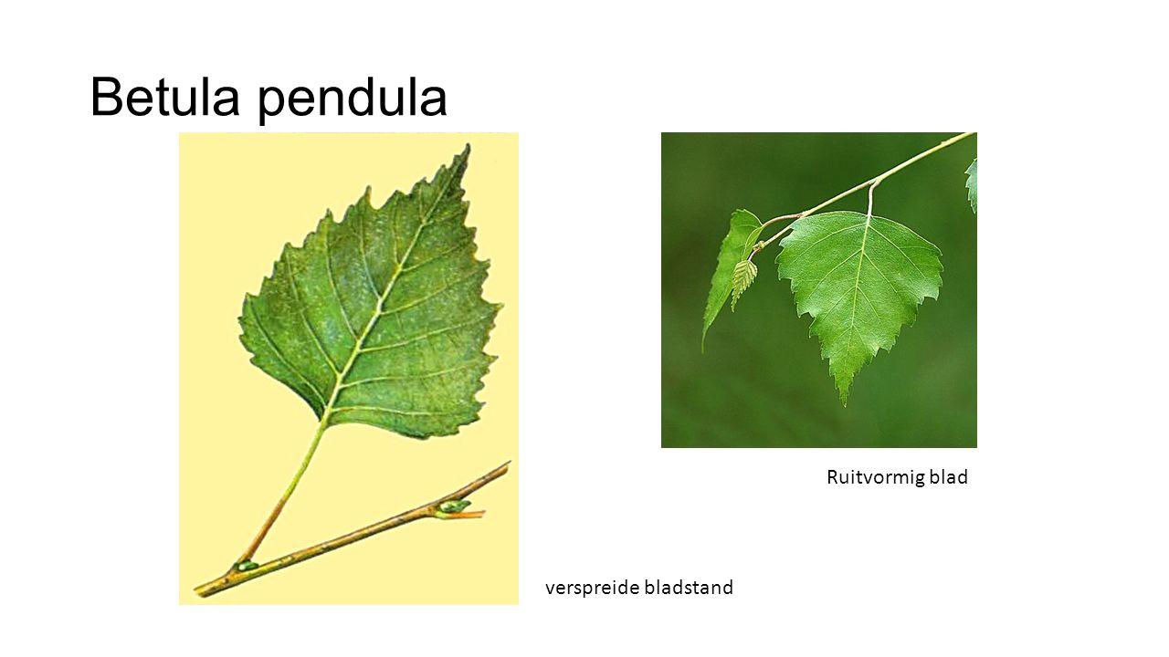 Betula pendula Ruitvormig blad verspreide bladstand