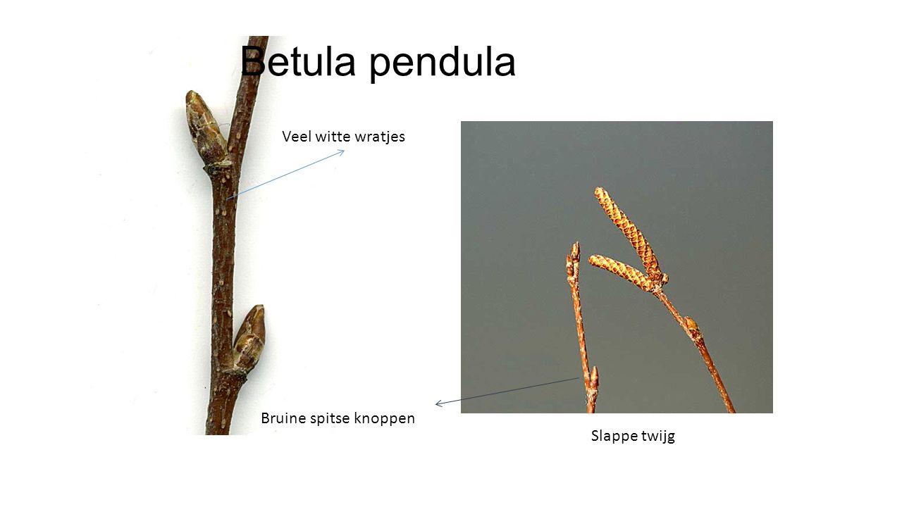 Betula pendula Veel witte wratjes Bruine spitse knoppen Slappe twijg