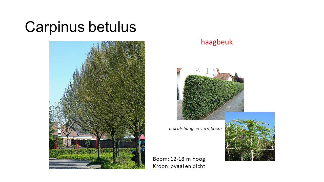 Carpinus betulus haagbeuk Boom: 12-18 m hoog Kroon: ovaal en dicht