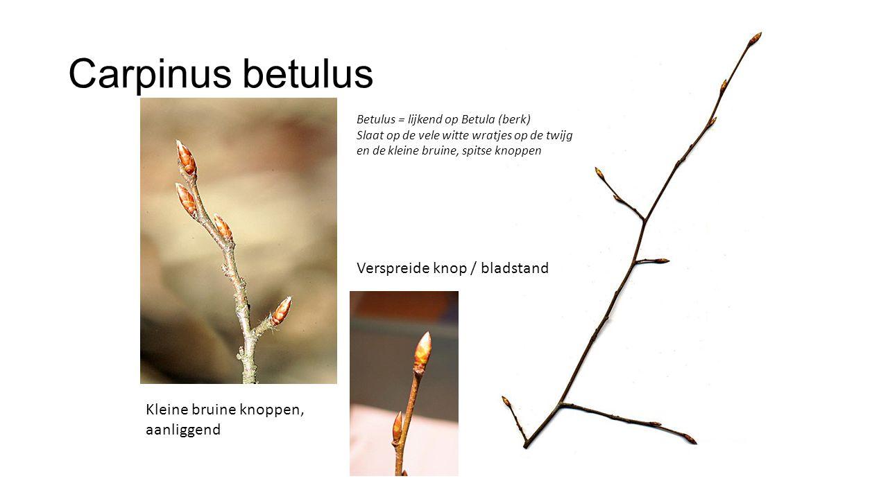 Carpinus betulus Verspreide knop / bladstand