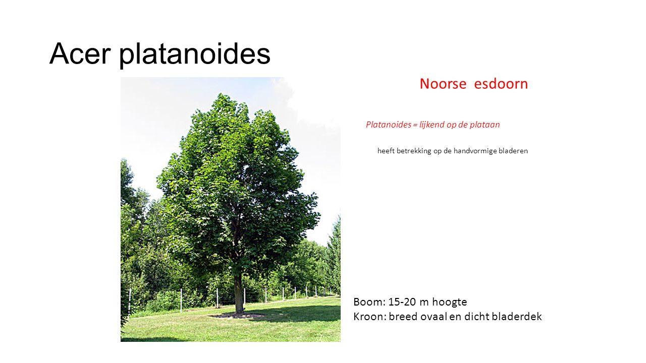 Acer platanoides Noorse esdoorn Boom: 15-20 m hoogte