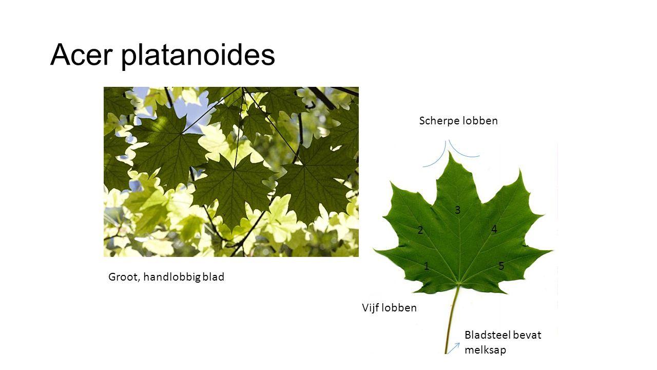 Acer platanoides Scherpe lobben 3 2 4 1 5 Groot, handlobbig blad