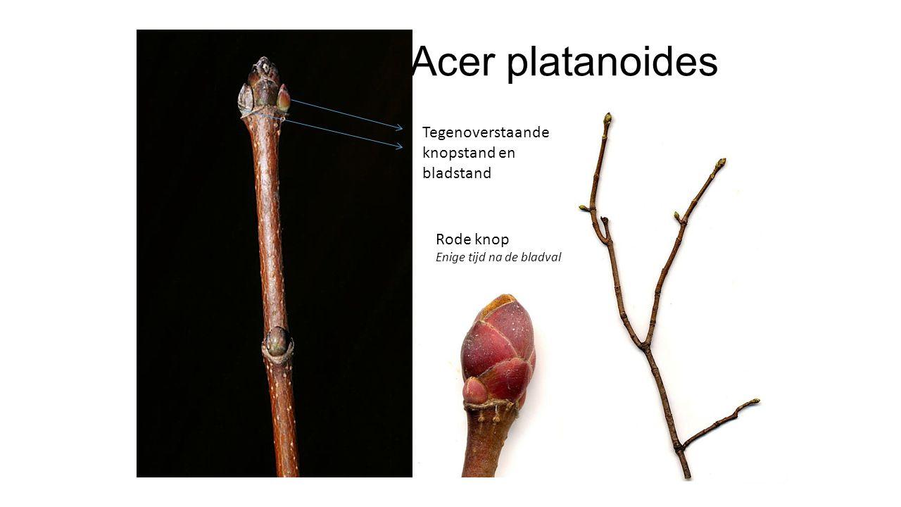 Acer platanoides Tegenoverstaande knopstand en bladstand Rode knop