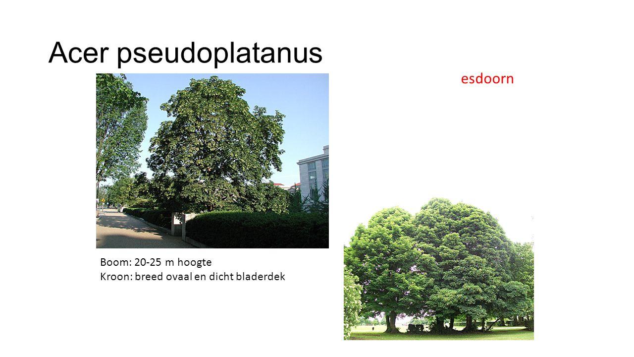 Acer pseudoplatanus esdoorn Boom: 20-25 m hoogte