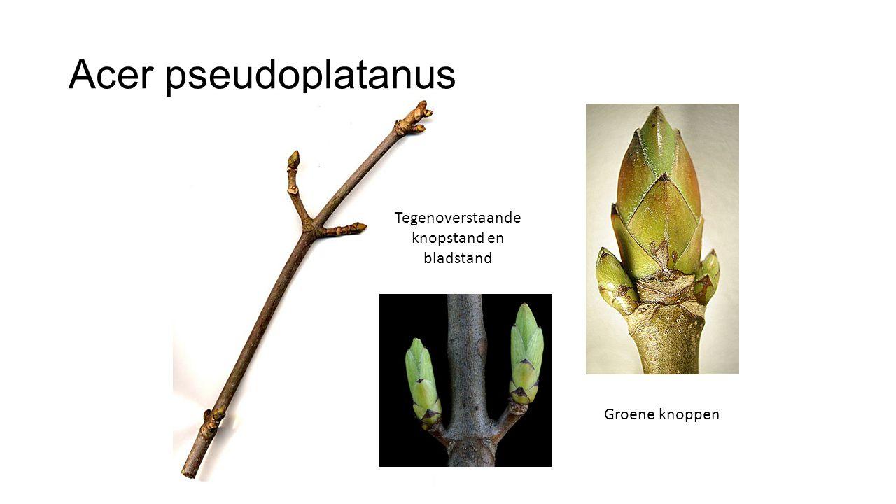 Tegenoverstaande knopstand en bladstand