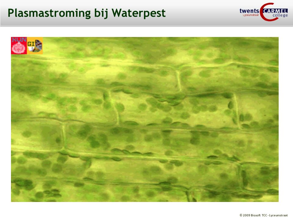 Plasmastroming bij Waterpest