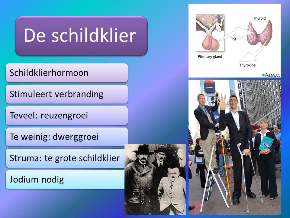De schildklier Schildklierhormoon. Stimuleert verbranding. Teveel: reuzengroei. Te weinig: dwerggroei.