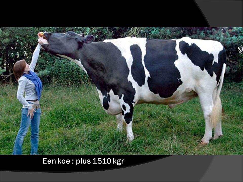 Een koe : plus 1510 kgr