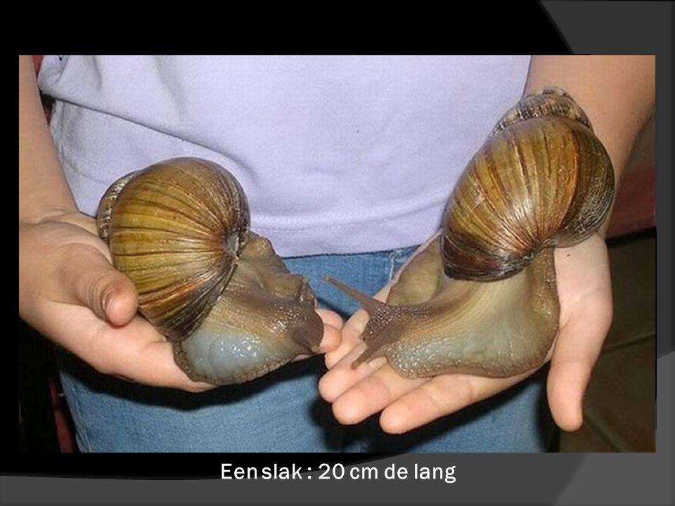 Een slak : 20 cm de lang