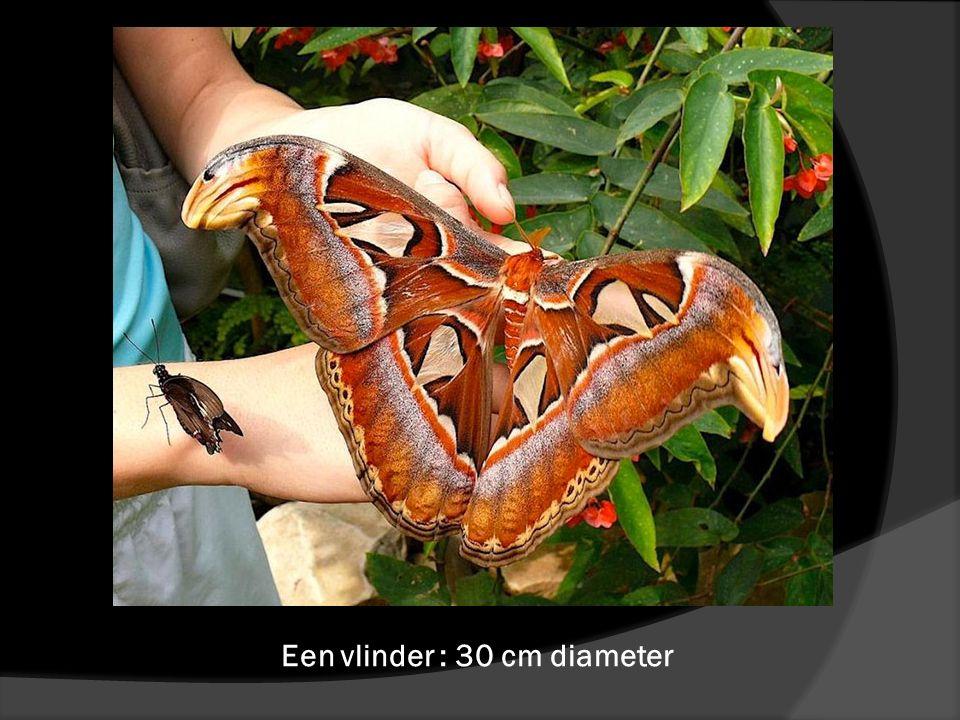 Een vlinder : 30 cm diameter